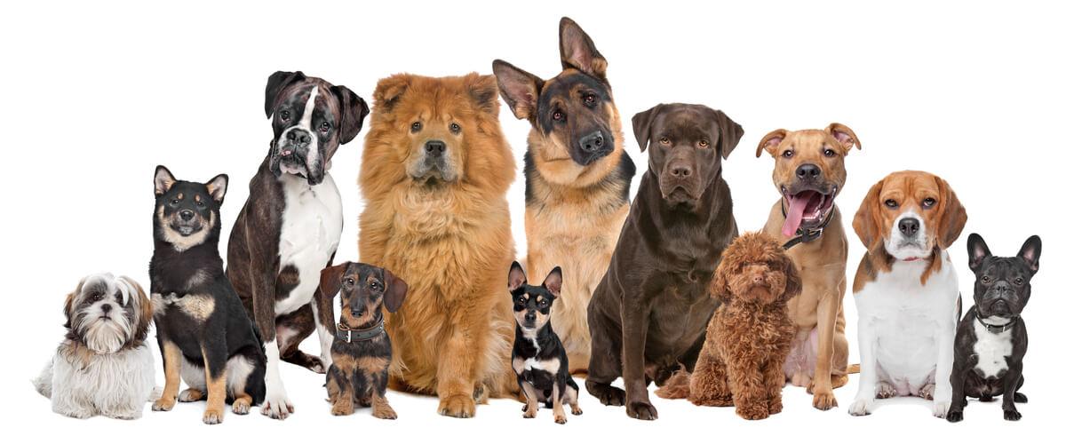 Diversidad de razas de perro.