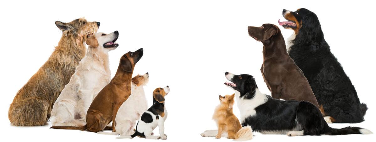 Razas de perro enfrentadas en la foto.