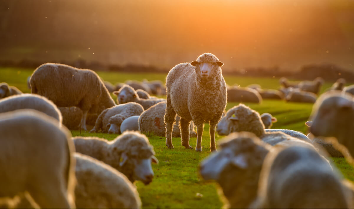 Un rebaño de ovejas en una puesta de sol.