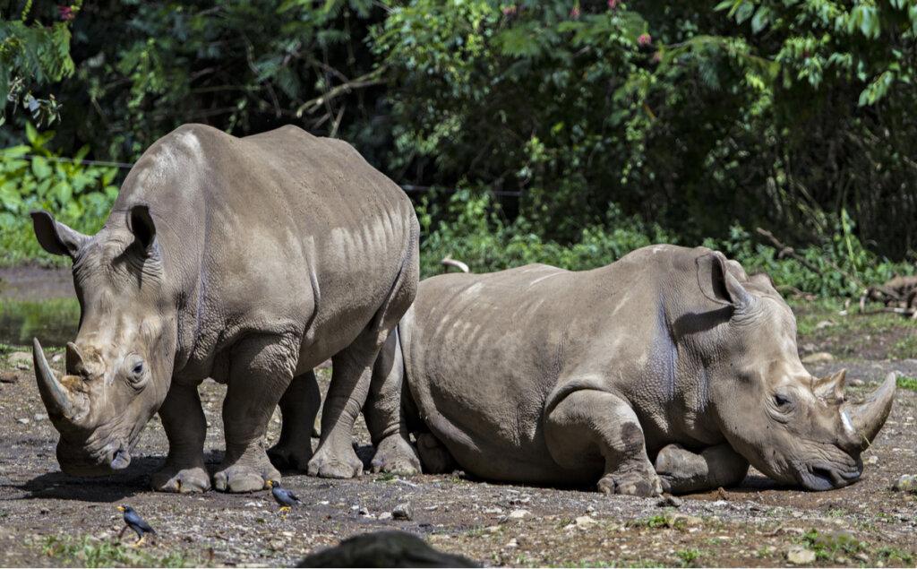 Alimentación y características del rinoceronte de Java