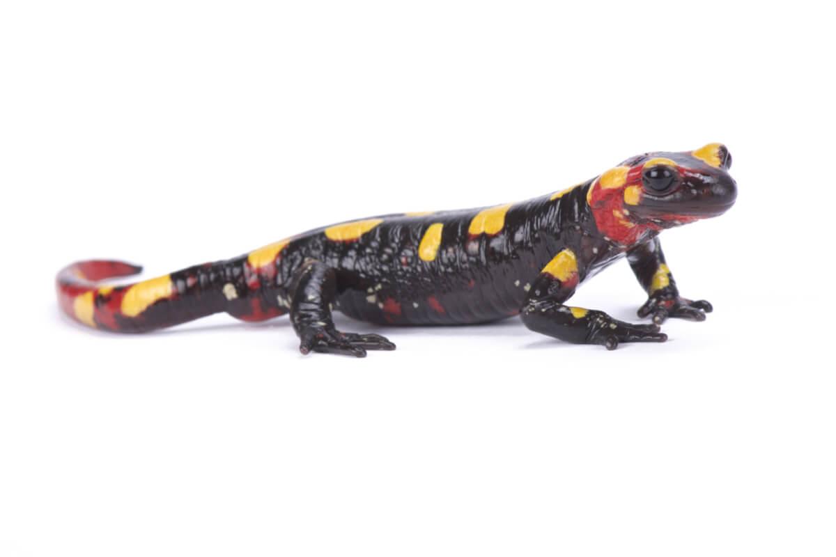Una salamandra común.
