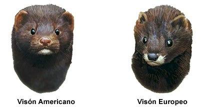 Diferencia entre visón americano y europeo.
