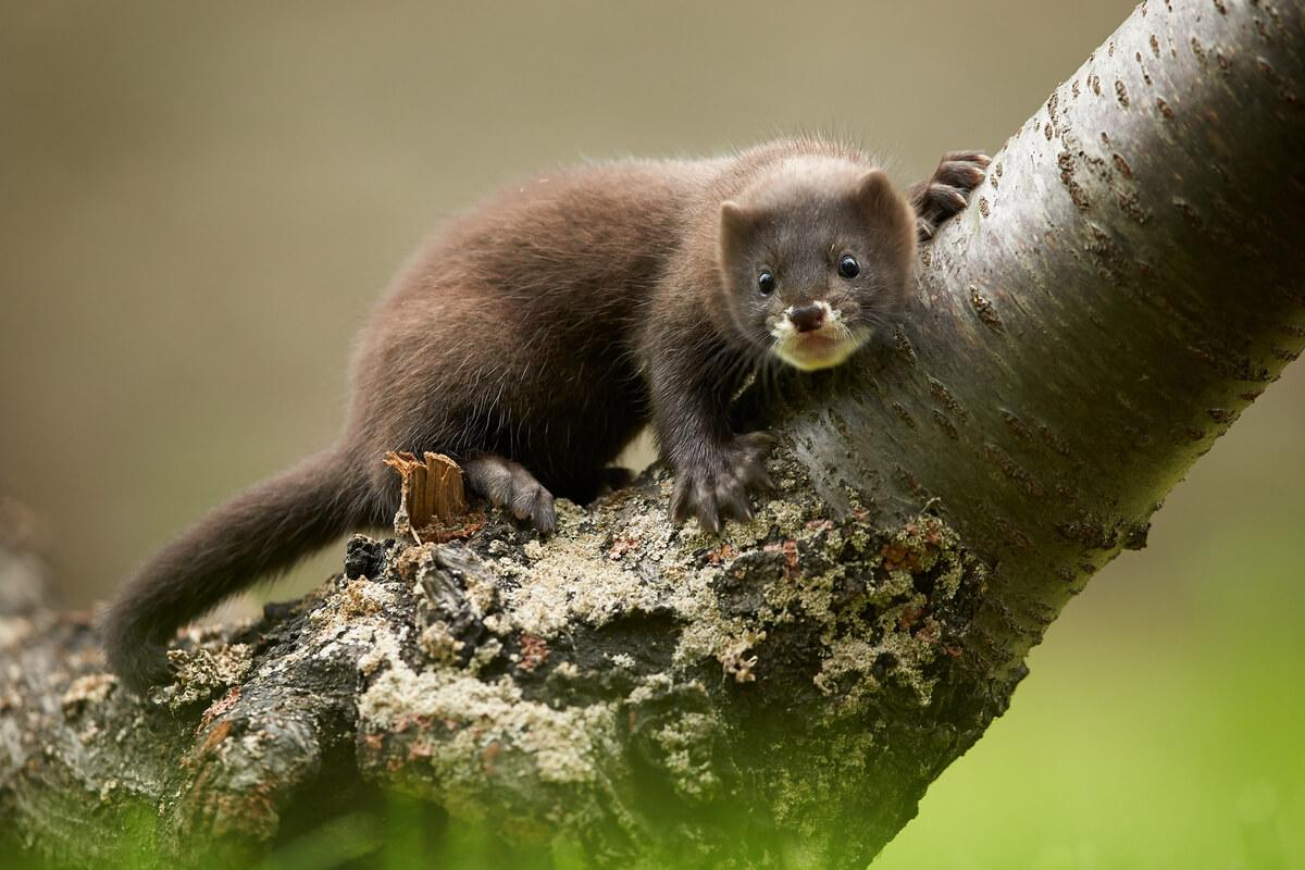 A European mink on a tree.