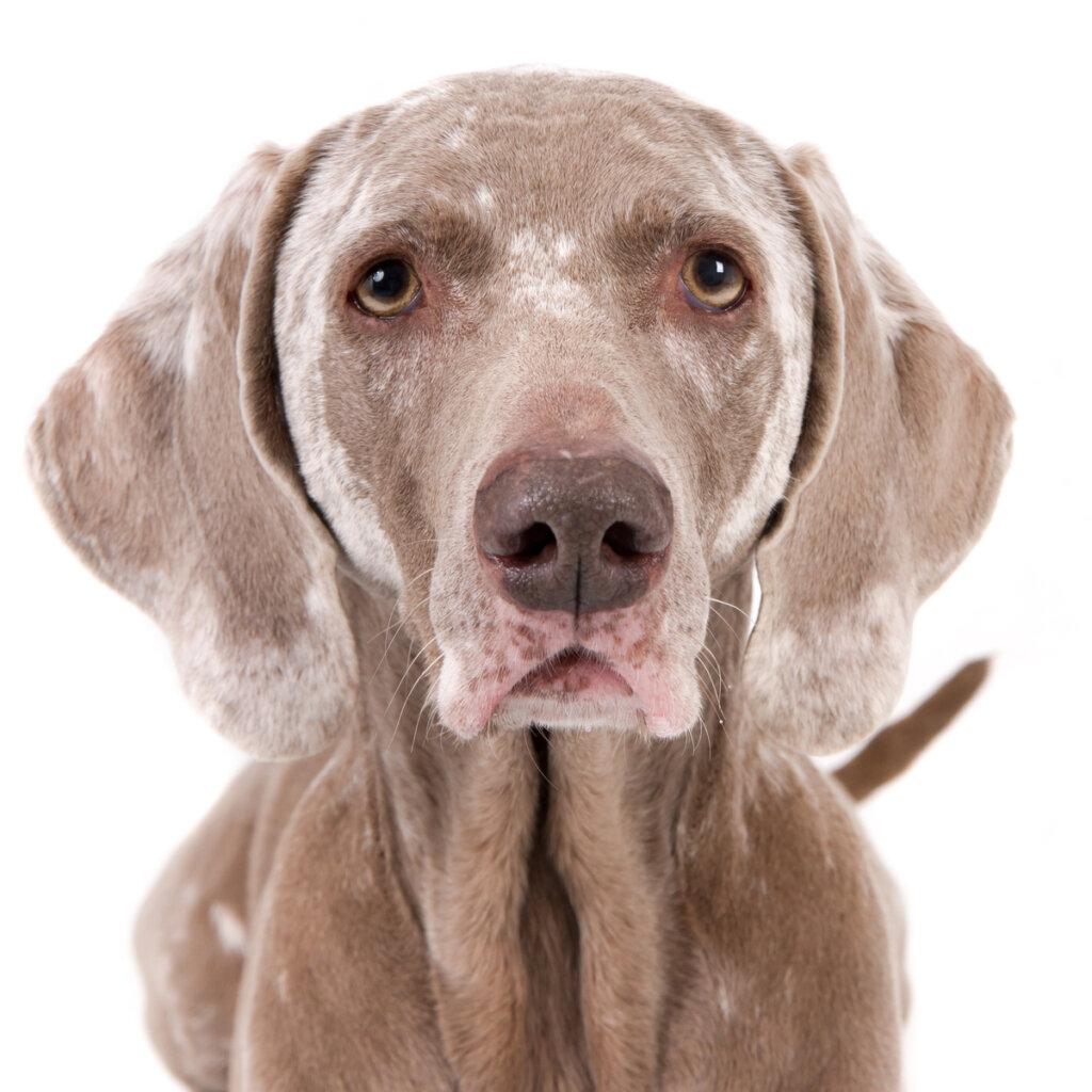 Causas de vitiligo en perros
