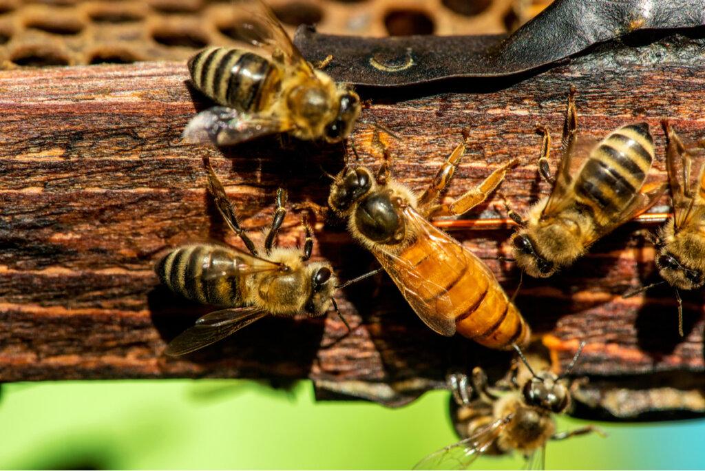 Curiosidades sobre la abeja reina