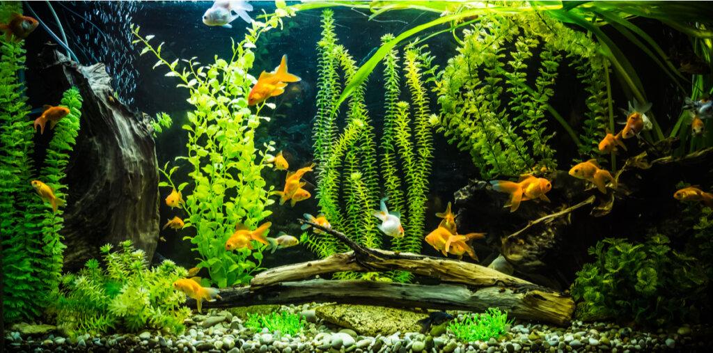 Tipos de peces de agua fría para tu acuario