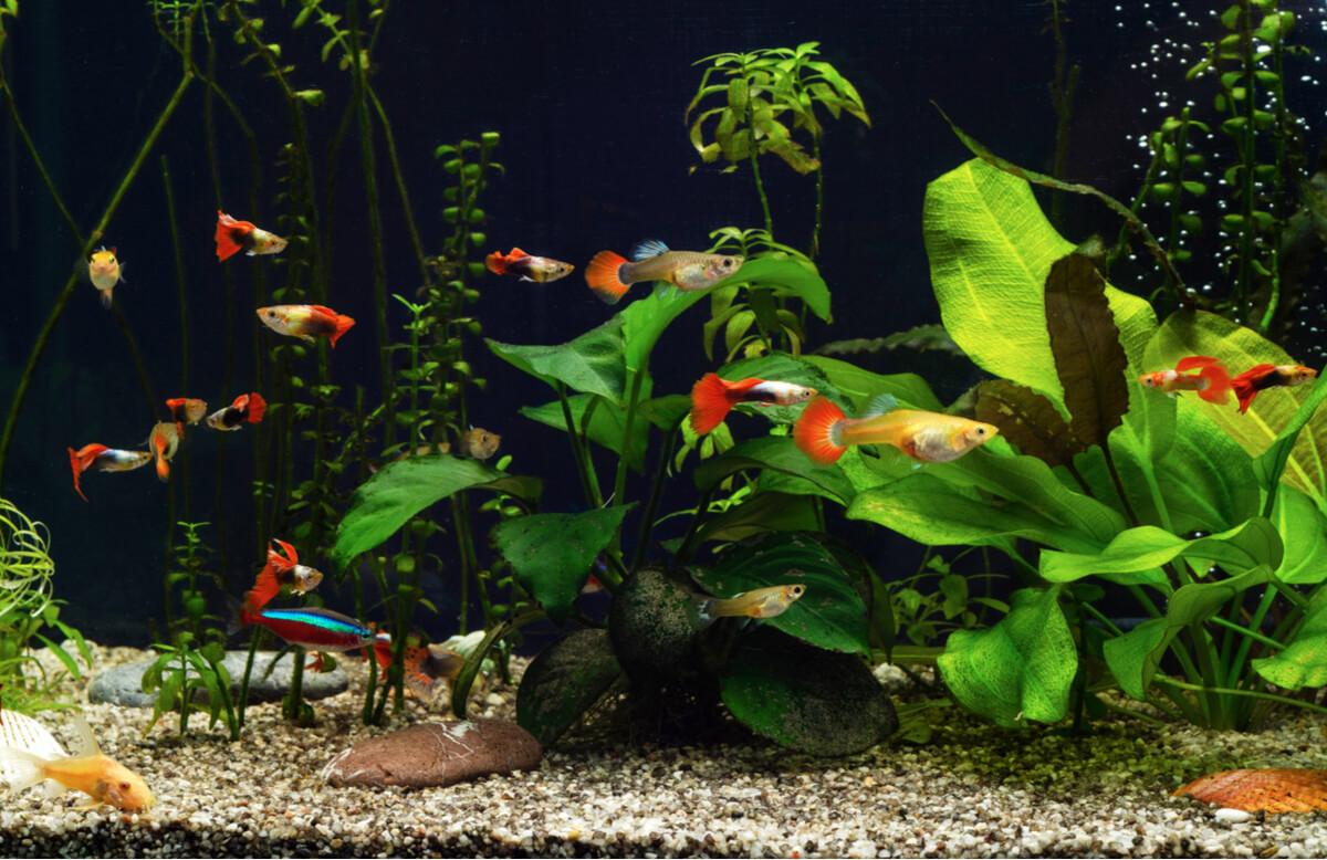 Un acuario de peces guppy.