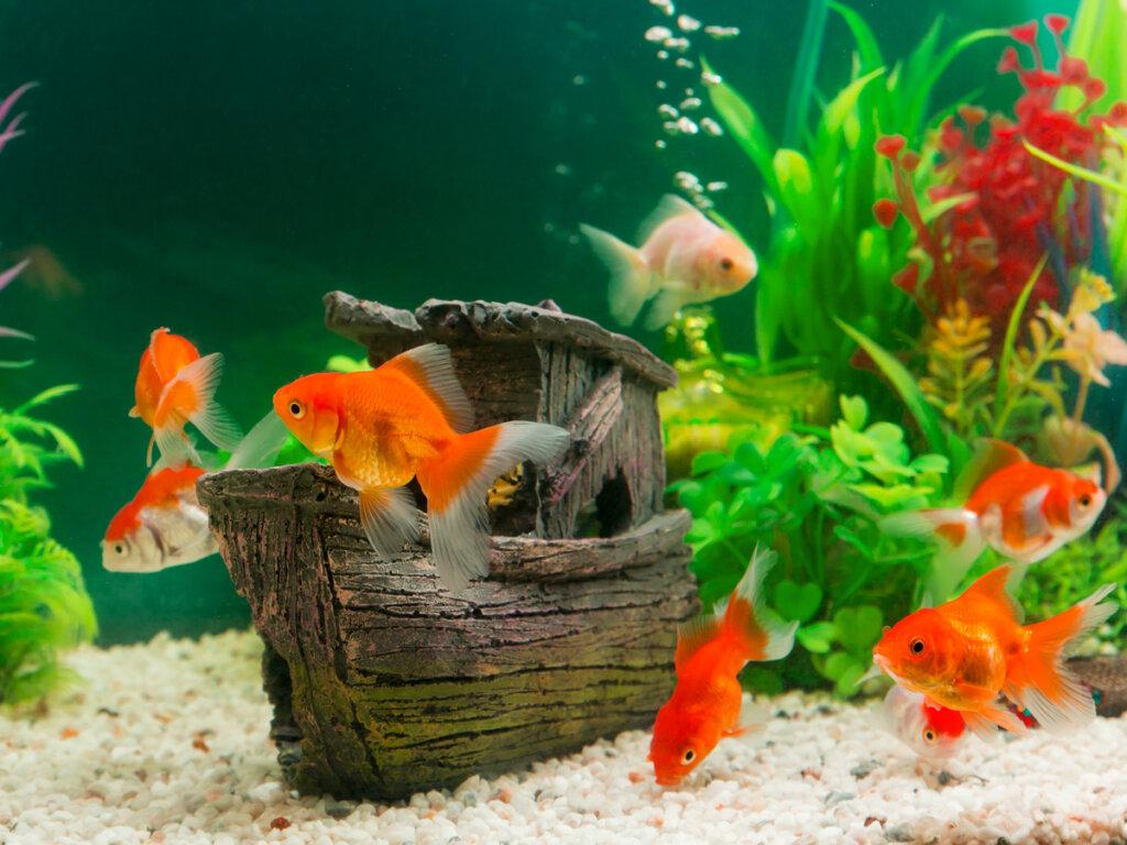 Los efectos de la sobrepoblación en el acuario