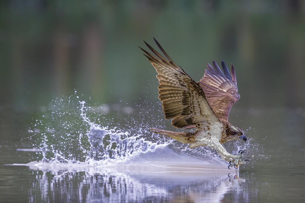 El águila pescadora es un ave que migra.