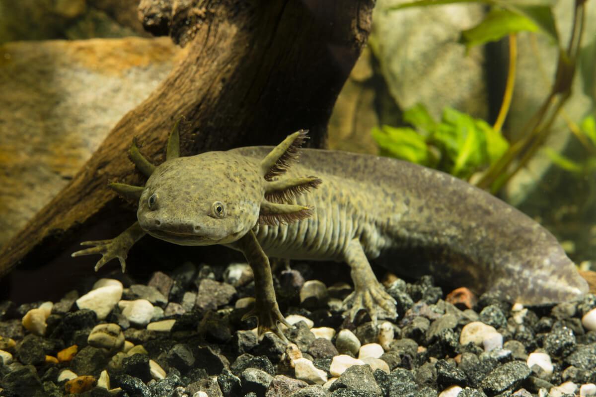 Ein großer Axolotl in einem Aquarium.