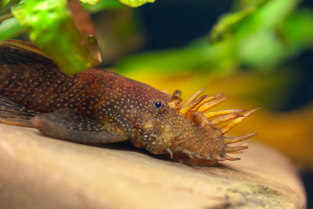 El ancistrus es otro pez limpiador natural.