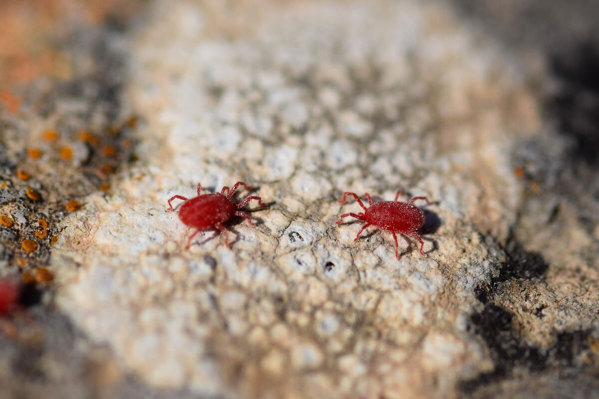 Red spider on a stone.
