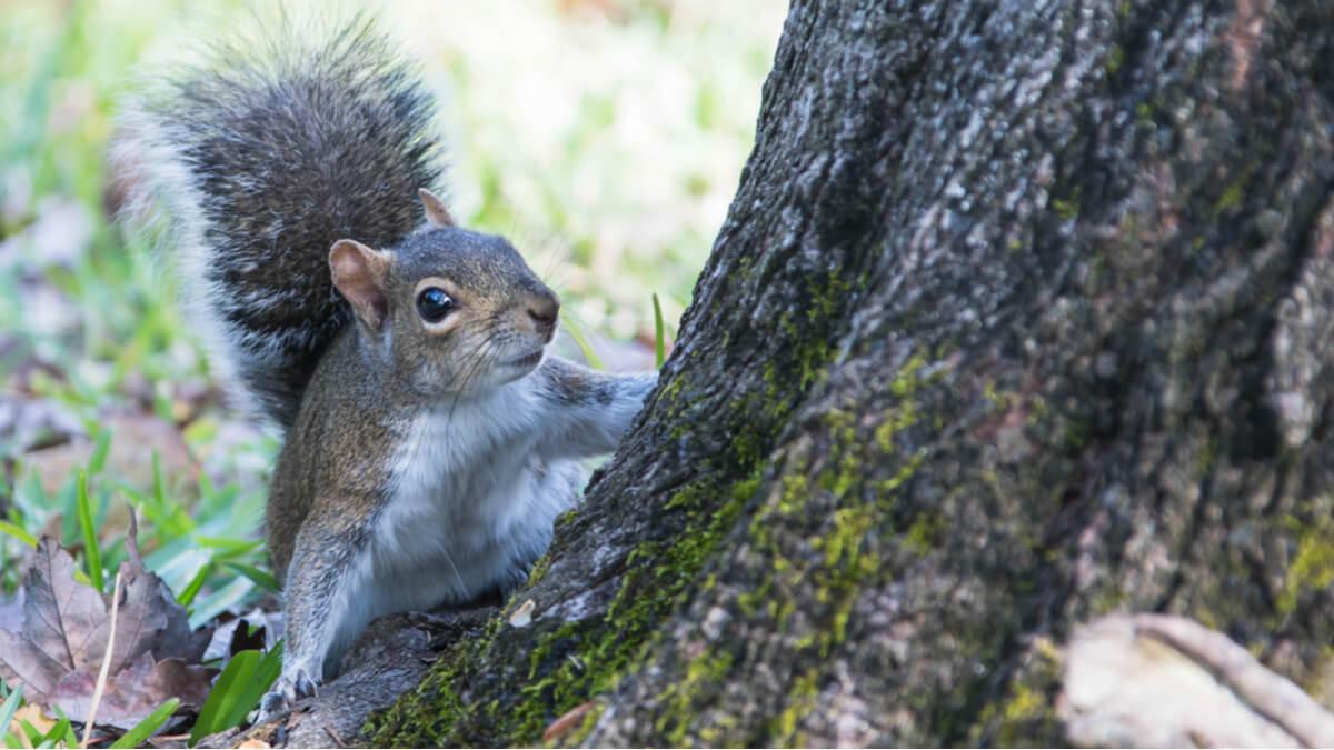 Una ardilla gris sobre un árbol