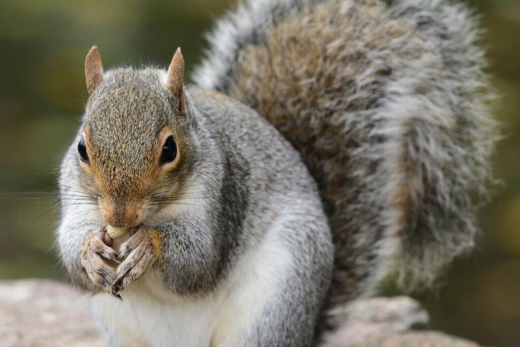El papel de la ardilla gris en los bosques