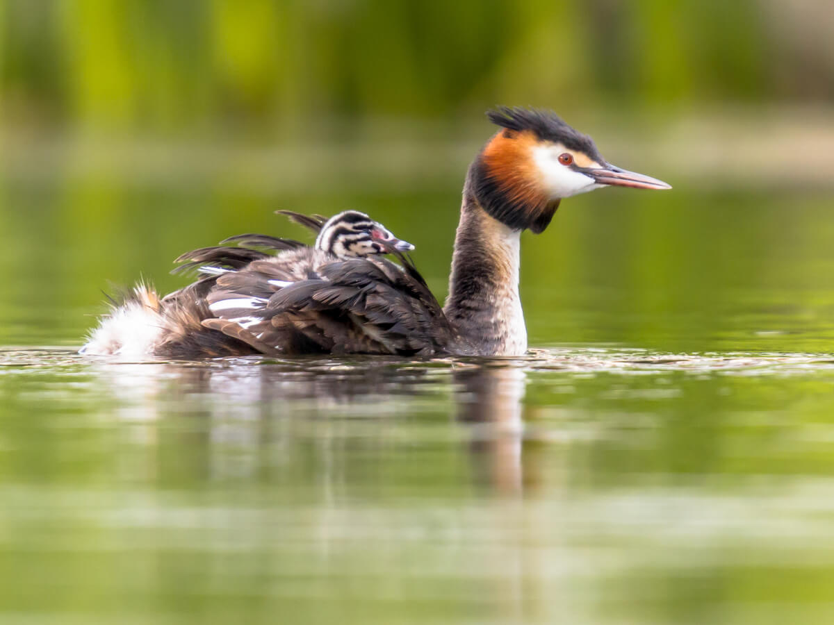¿Cuáles son las caraterísticas de las aves acuáticas?
