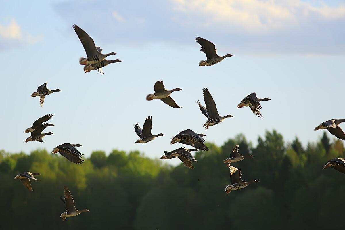 aves que migran en otoño.