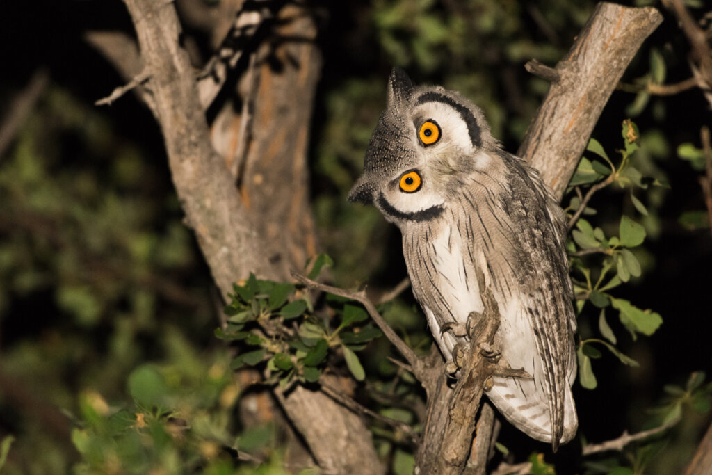 6 curiosidades sobre los búhos
