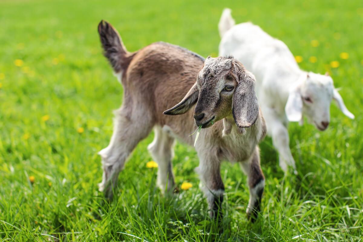 Dos cabras bebés.