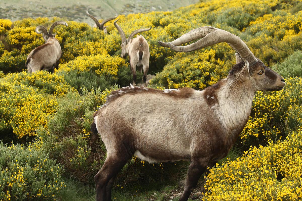 Un grupo de cabras macho pastando.