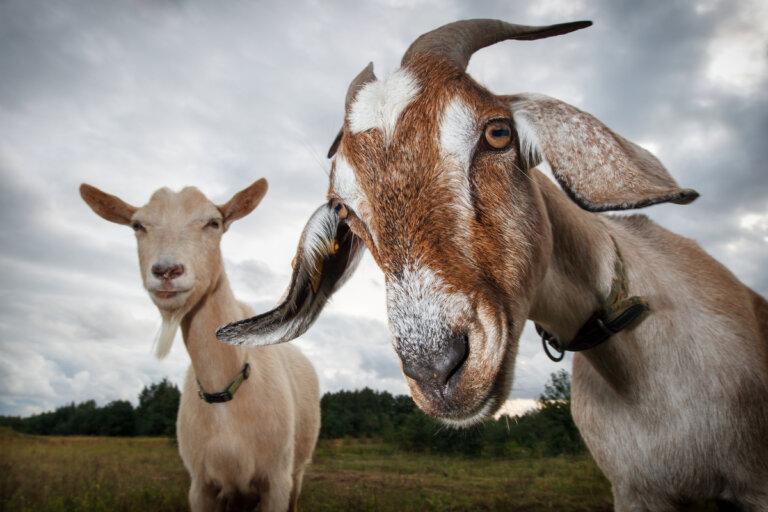 Ganadería caprina: curiosidades sobre los hábitos alimenticios de las cabras