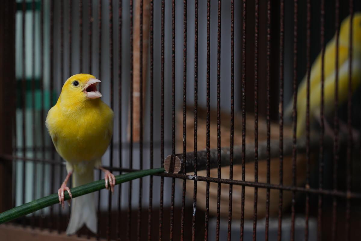 Un canario canta en una jaula.