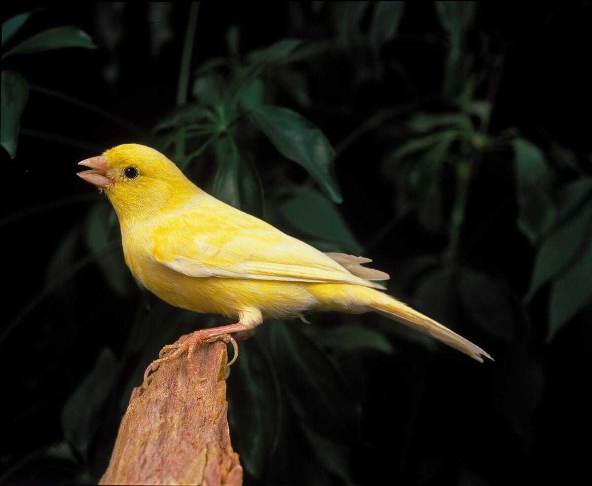 Un canario cantando.