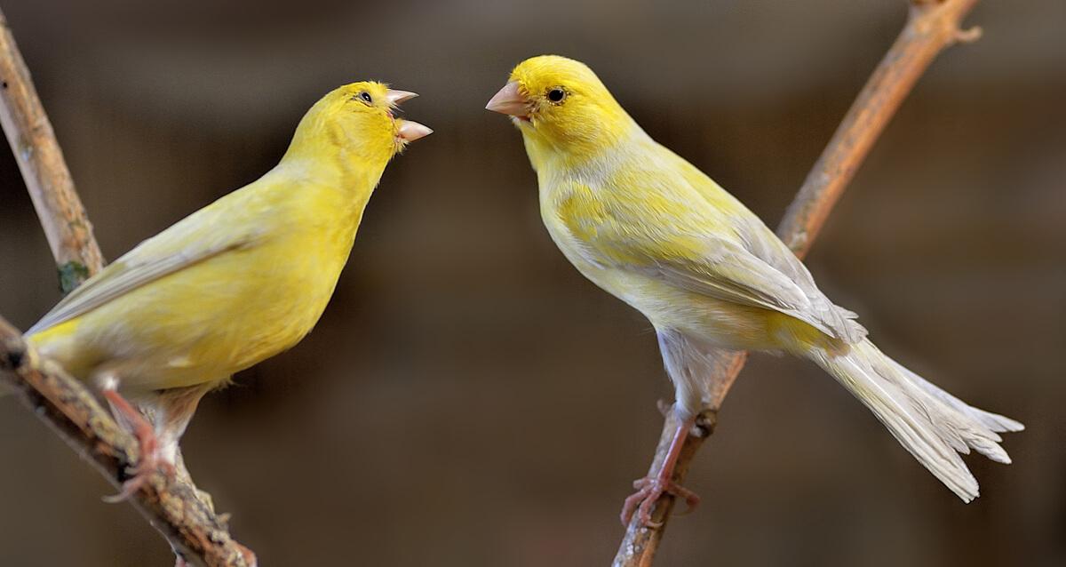 En iyi şarkı söyleyen kuşlardan biri.