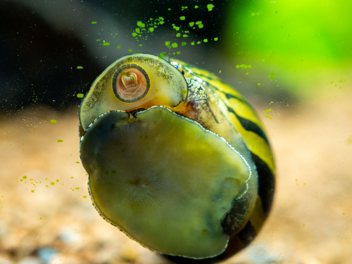 ¿Qué comen los caracoles de agua dulce?