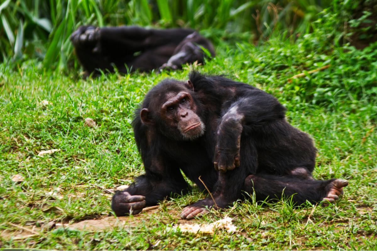 Uno scimpanzé sdraiato.