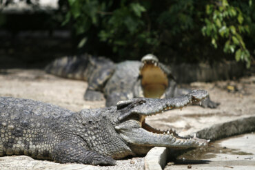 Lágrimas de cocodrilo: ¿cuál es su origen?