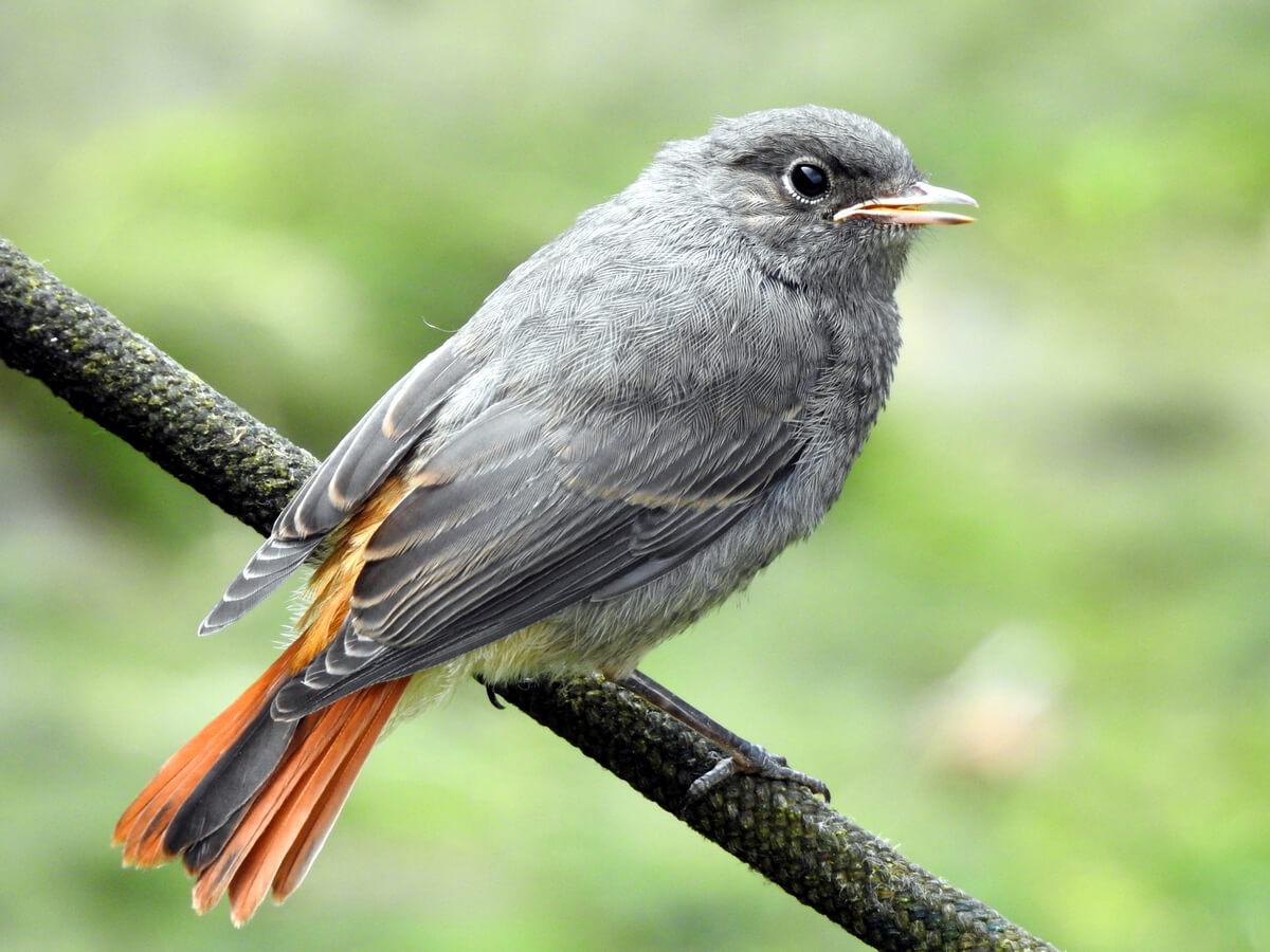El colirrojo común es una de las aves que migran en otoño.