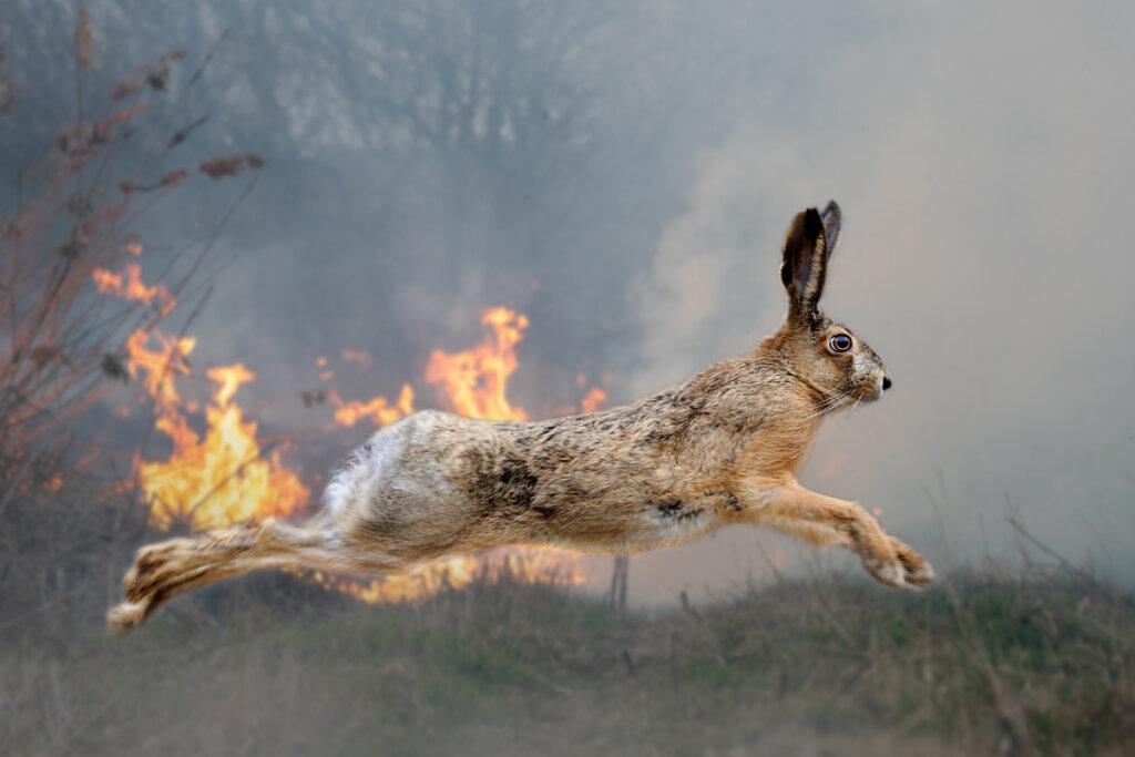 Piel de tilapia para curar a los animales quemados en los incendios del Amazonas