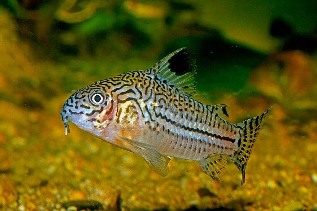 Corydoras: ¿cómo mantienen los acuarios limpios?