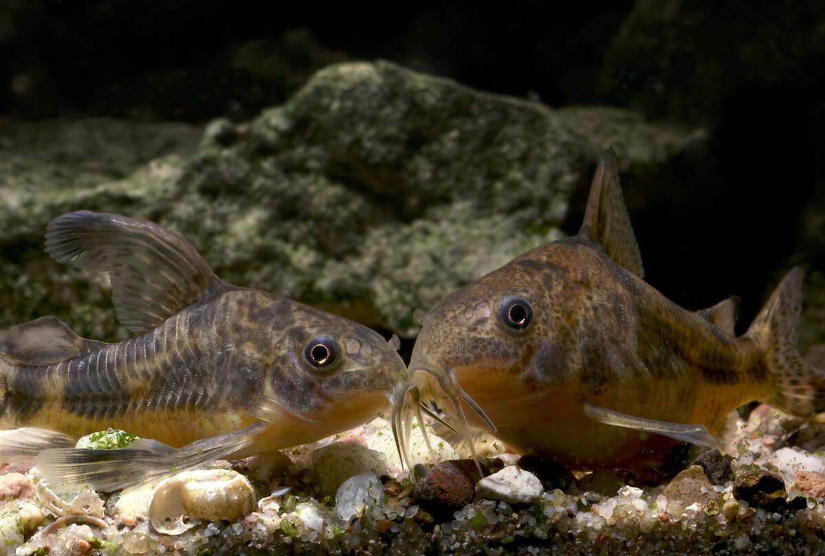Dos corydoras en el fondo de un acuario.