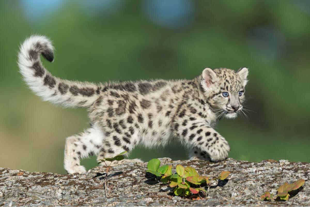 Una cría de leopardo de las nieves.