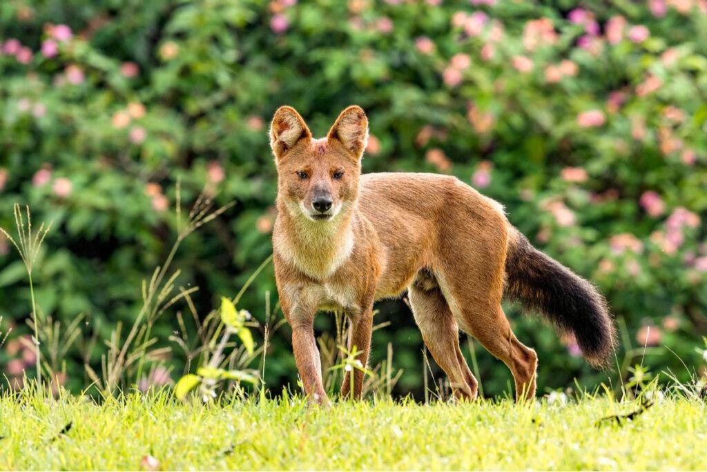 El perro salvaje asiático y su situación crítica