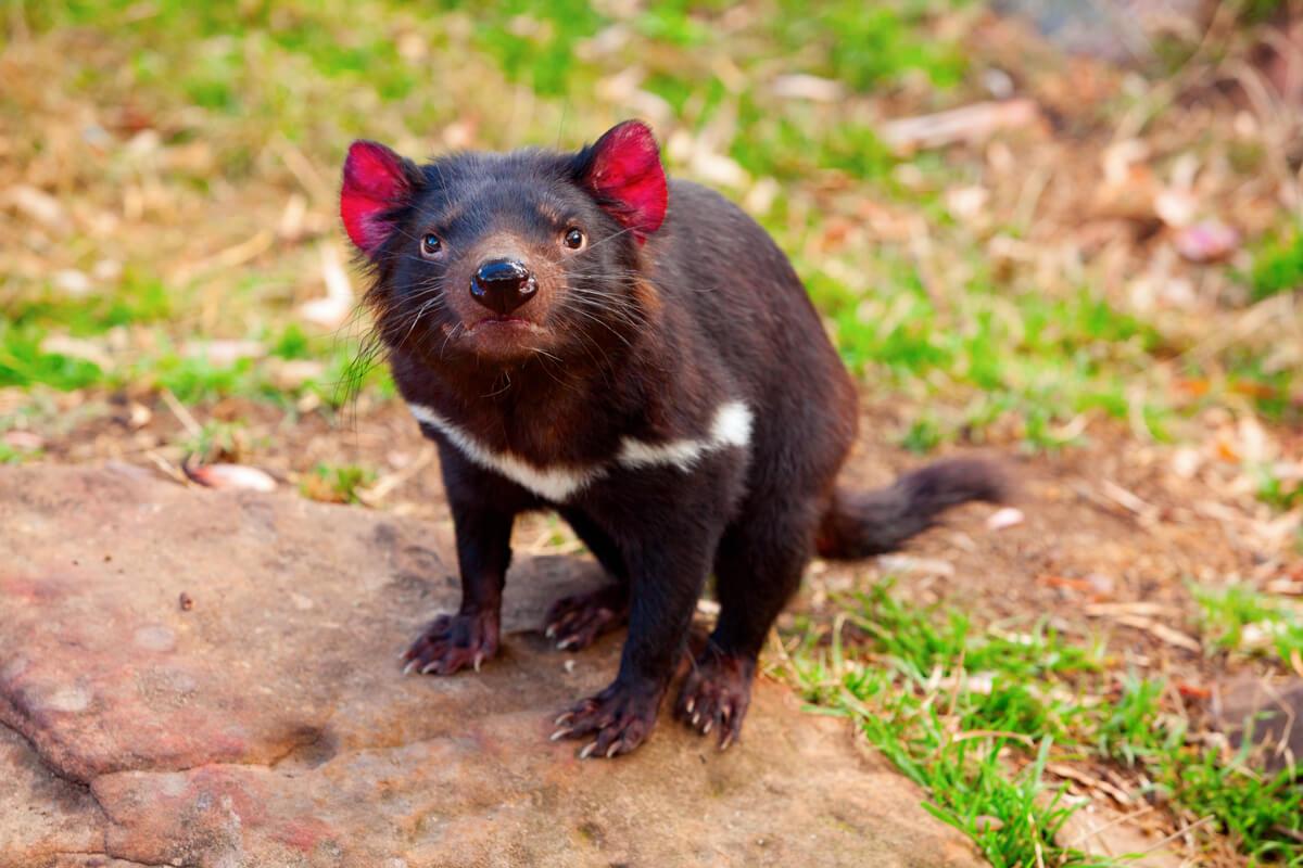 Un demonio de Tasmania enfadado.