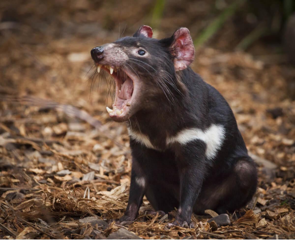 Un demonio de Tasmania gruñendo.