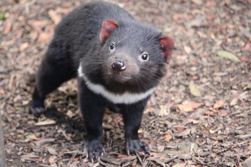El demonio de Tasmania regresa a la Australia continental tras 3000 años