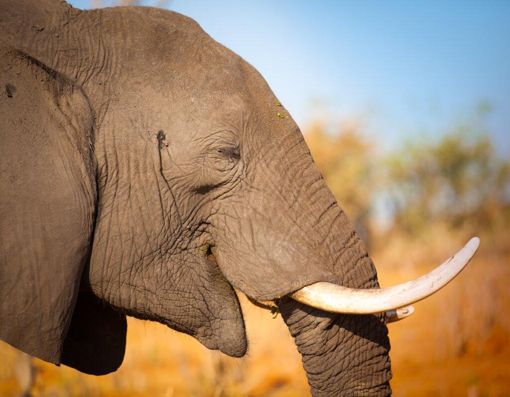 Proteger a los elefantes de la caza furtiva