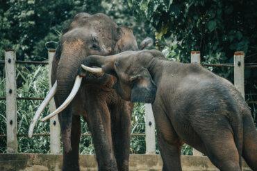 El elefante pigmeo: una subespecie en peligro