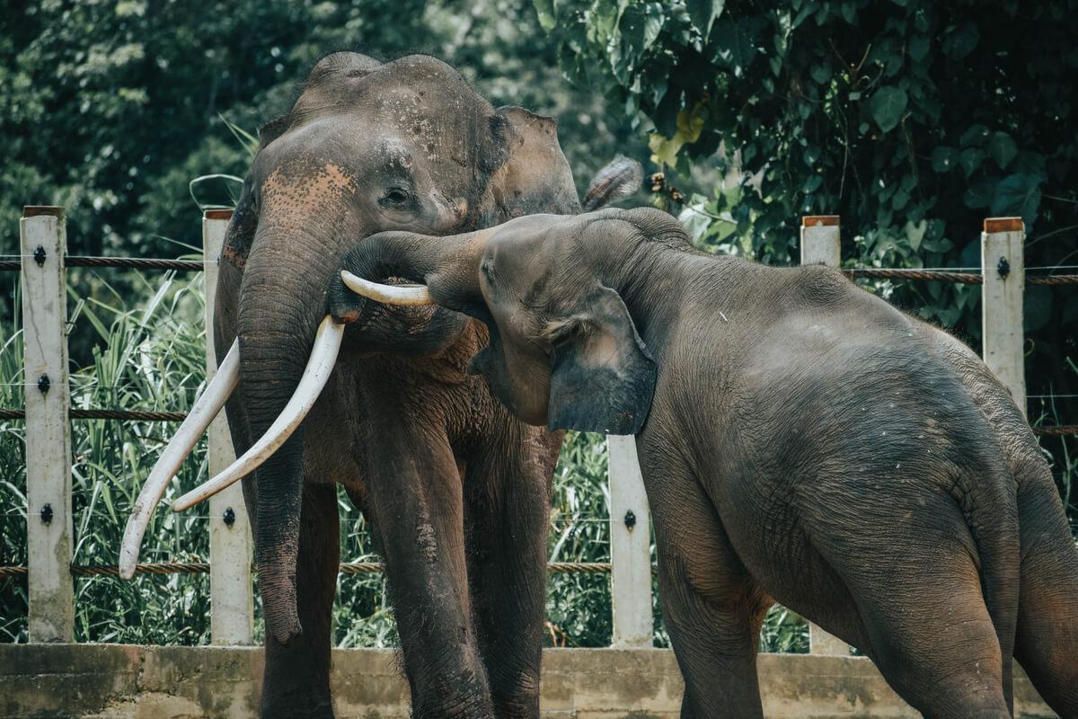 Una pareja de la subespecie elefante pigmeo.