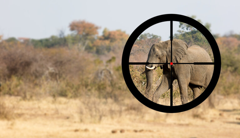 ¿Por qué algunos elefantes tienen colmillos y otros no?