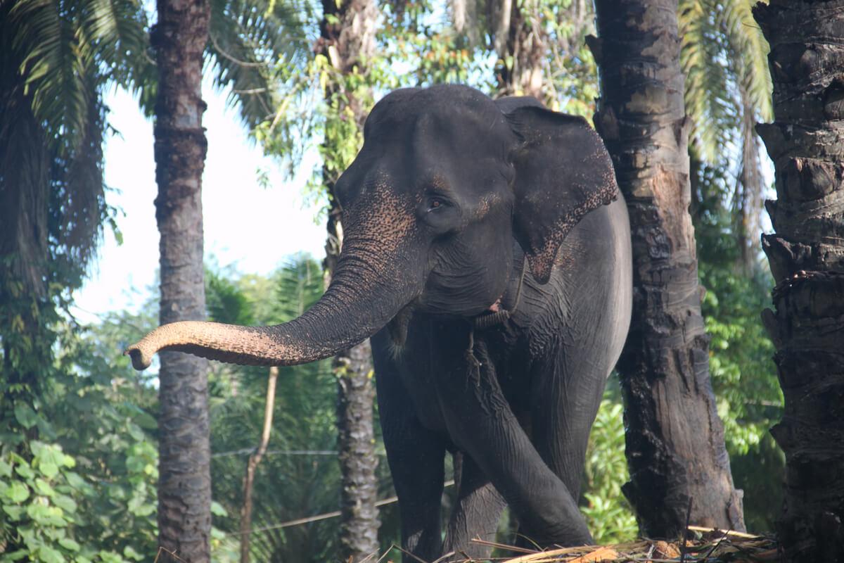 El elefante de sumatra es uno de los mamíferos más amenazados.