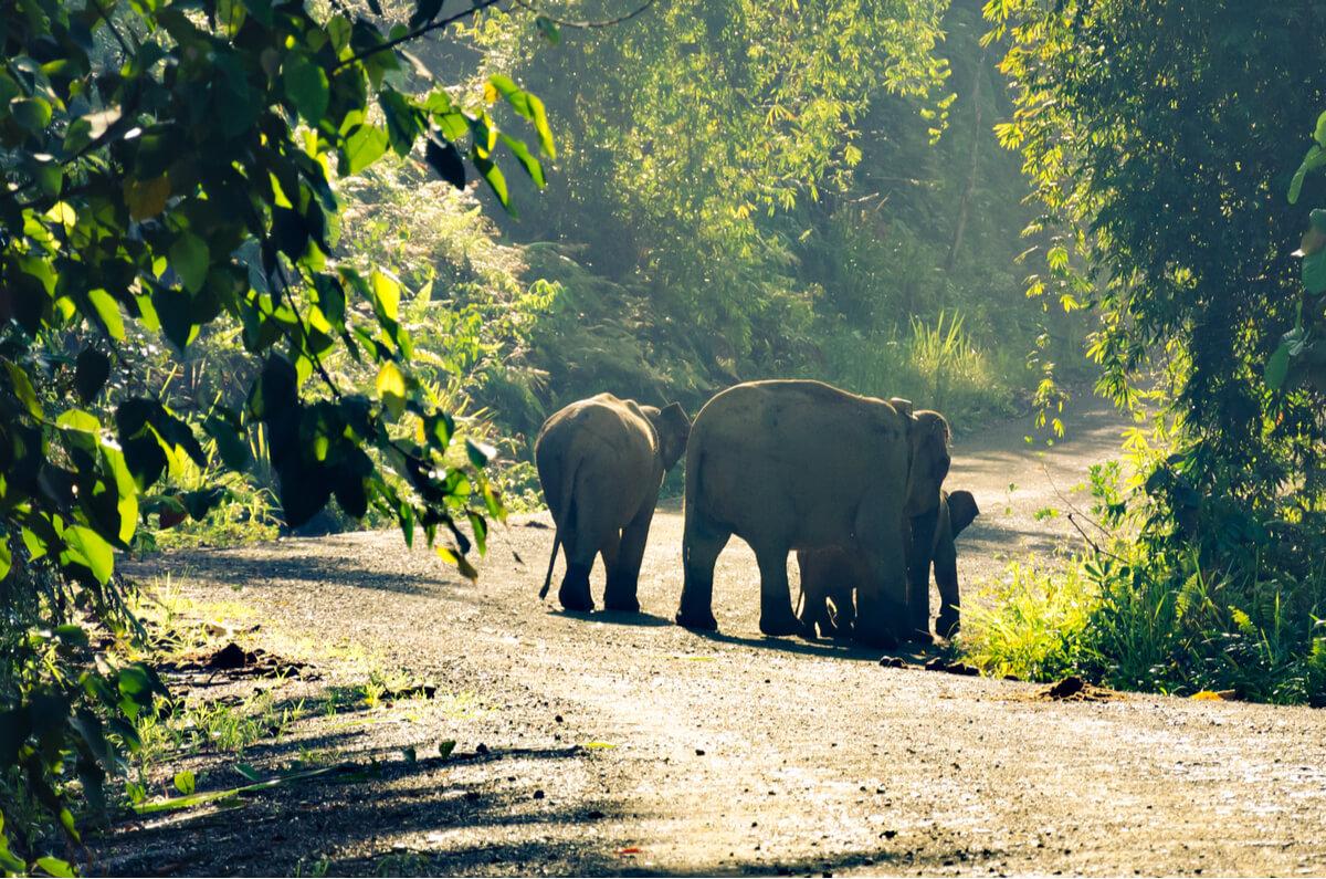 Elefantes pigmeos recorriendo un camino.