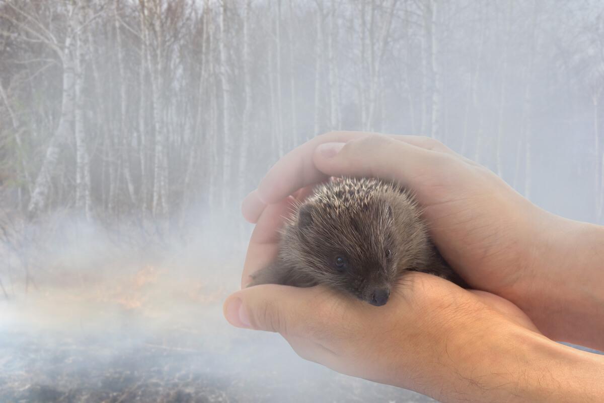 Un erizo terrestre en un incendio.