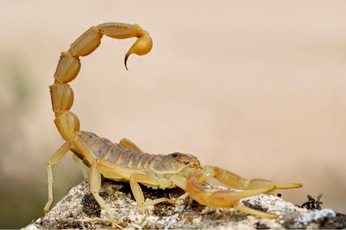 Scorpion et scorpion.