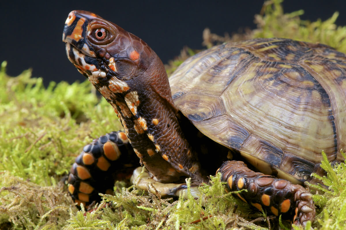 A species of turtle within the CITES convention.