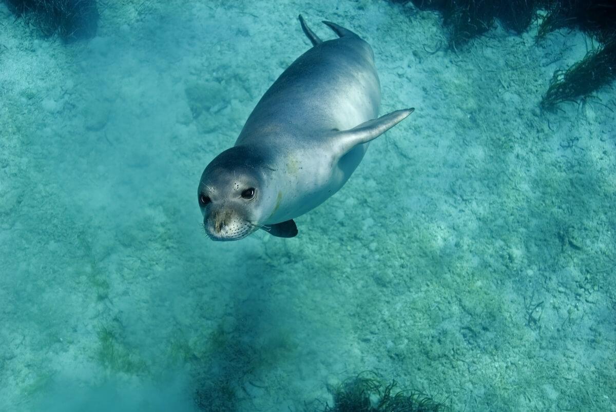 Una foca monje que nada.