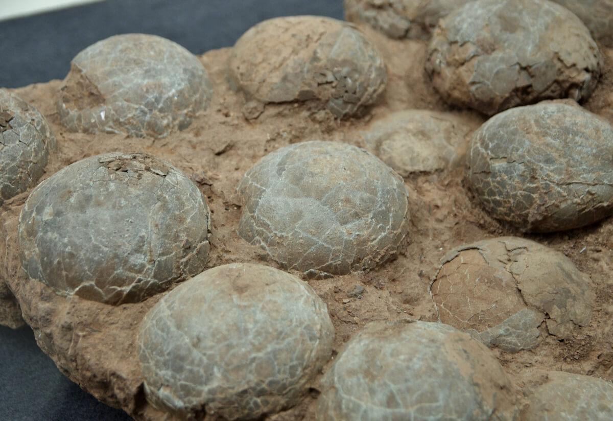 Fósiles de los huevos de un dinosaurio.